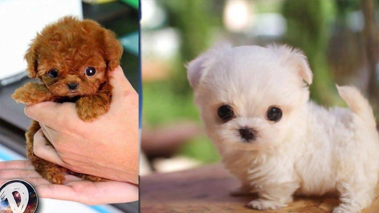 Los Perritos Mas Tiernos Y Pequeños Del Mundo Perros Inteligentes