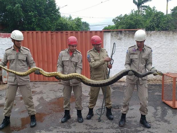 Bombeiros dizem que animal tem 3,5 metros e aproximadamente 25 kg (Foto: Tenente Daniel Alves/ 2º BBM)