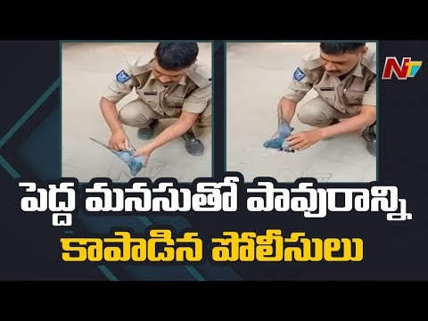 NTV:  Blue colts III Staff Rescued the Pigeon (Video)