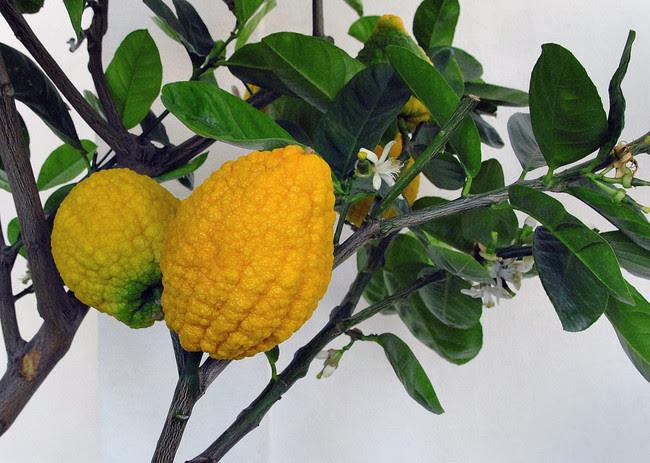 Chinesische Zedrat Zitrone