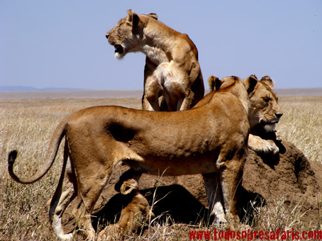 http://safarifotografico.files.wordpress.com/2007/10/mancho2-333.jpg