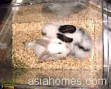 Hyperactive white dwarf rabbit, Singapore