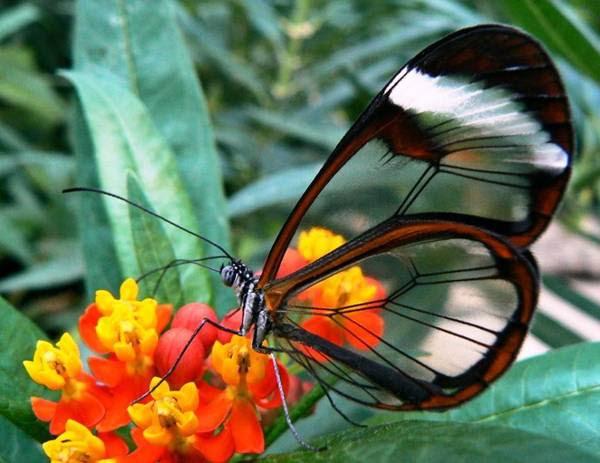 الفراشة الزجاجيه الشفافه فراشة الزجاج Greta oto بالصور 432918.jpg