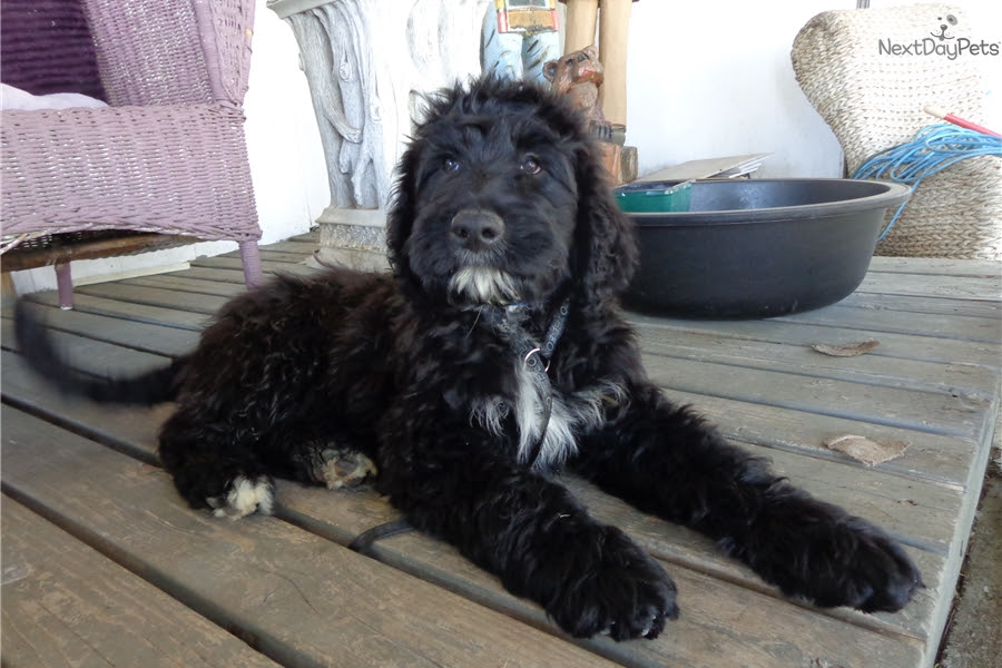 Portuguese Water Dog puppy for sale near Portugal