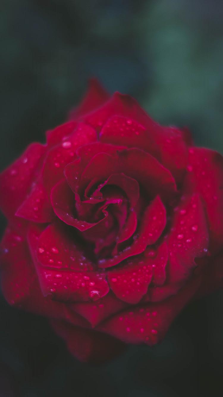Red Flower Wallpaper Bryanbakerlouderthan