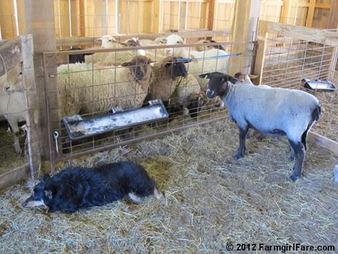 2012 Sheep shearing day 31 - FarmgirlFare.com