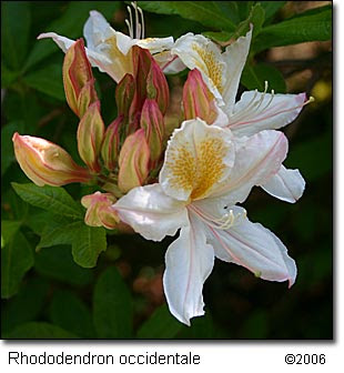 Rhododendron_occidentale051206_1