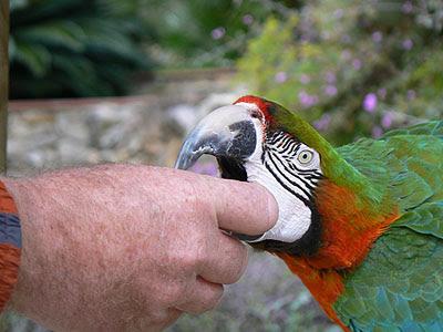 perroquet gourmand.jpg