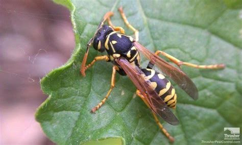 Yellowjacket Wasp Control   Thrasher Termite & Pest Control