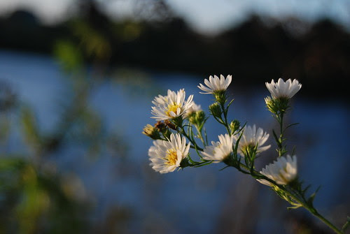 Native Flat-topped white aster