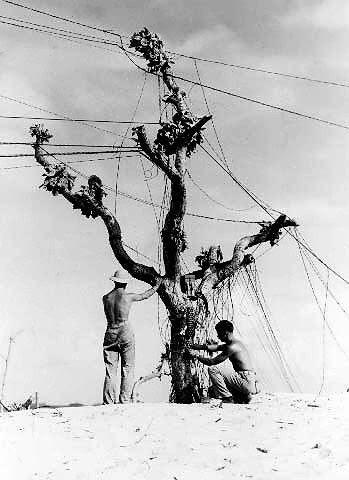 Americans stringing telephone wires on a tree, Eniwetok, Marshall Islands, circa 1944