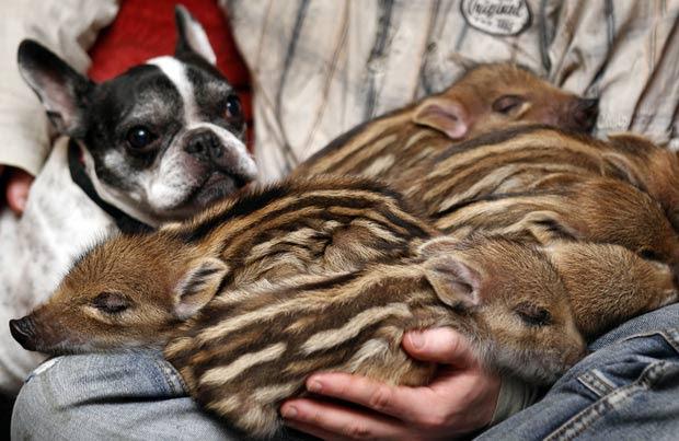 Buldogue francês 'Baby' virou estrela de santuário de animais perto de Berlim. (Foto: Michael Sohn/AP)
