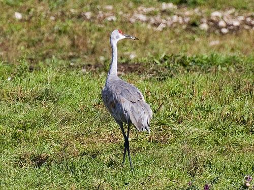 Sandhill Crane 5