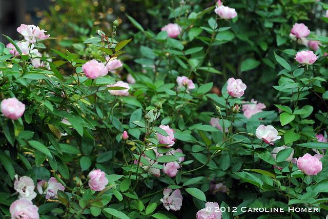 La Marne rose