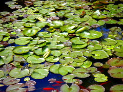 Lilly Pad Pond!