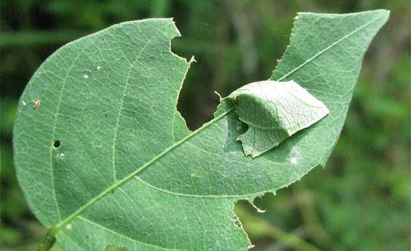 File:Pupa-in-leaf.jpg