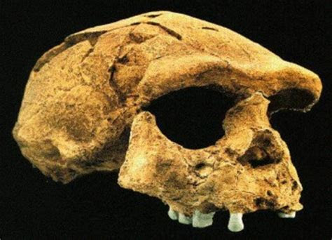gambar manusia purba indonesia fosil gambar foto
