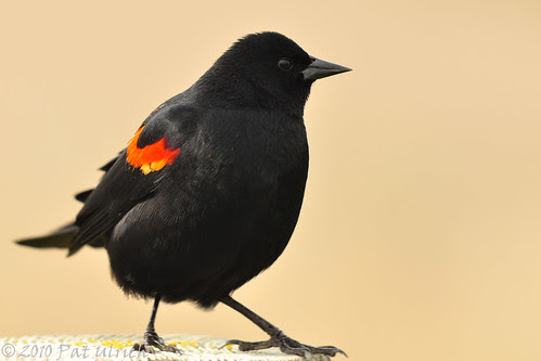 Blackbird shuffle