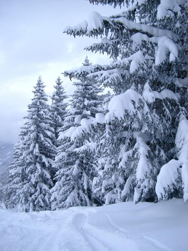 Plenty Tall Fir Trees Covered with Snow During Winter Season. Captured on Very Light Blue Sky Background.