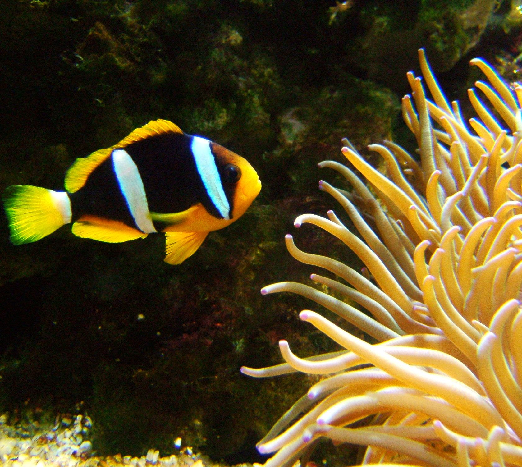 http://upload.wikimedia.org/wikipedia/commons/d/da/Amphiprion_clarkii.jpg