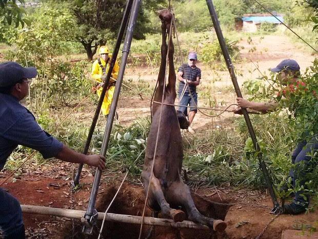 Cavalo foi içado de fossa em Montes Claros (Foto: Corpo de Bombeiros/Divulgação)
