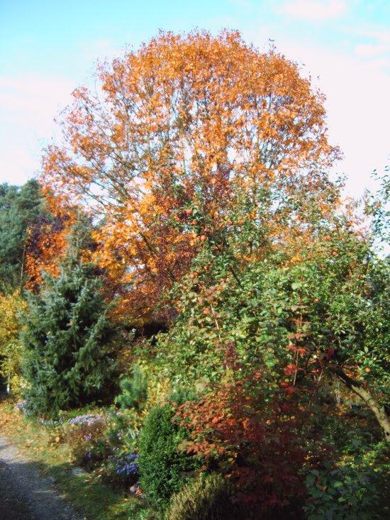 Amerikanische Roteiche im Herbst-08-15.10.2008