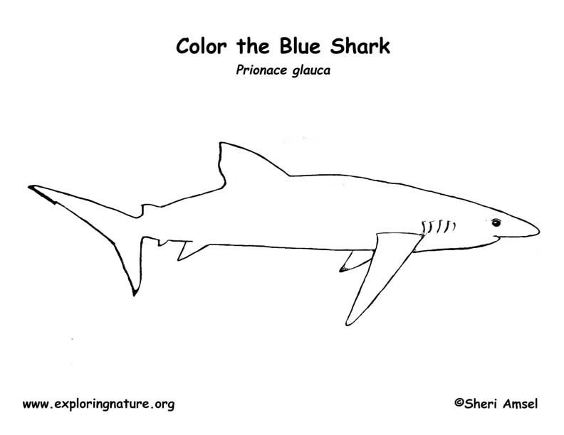 Shark (Blue) Coloring Page