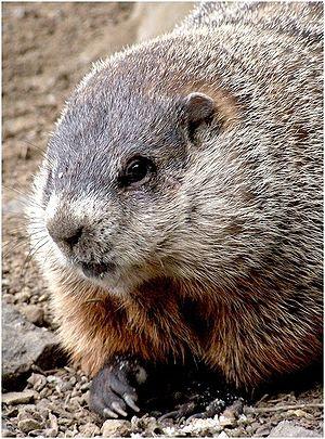 Closeup groundhog (Marmota monax)