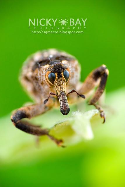 Weevil (Curculionidae) - DSC_9424