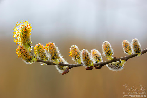 Early Willow Flowers, Seattle, Washington
