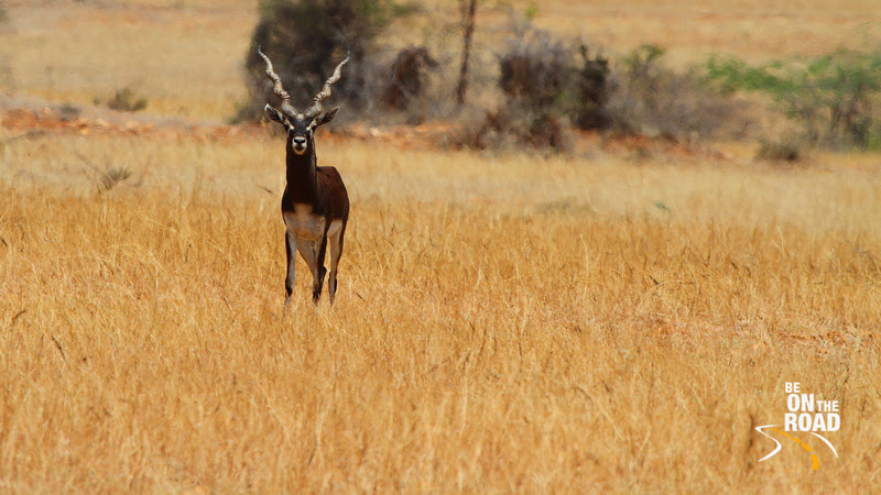 A Shining Black Male Blackbuck looks on