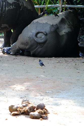 rhinoceros and their shit