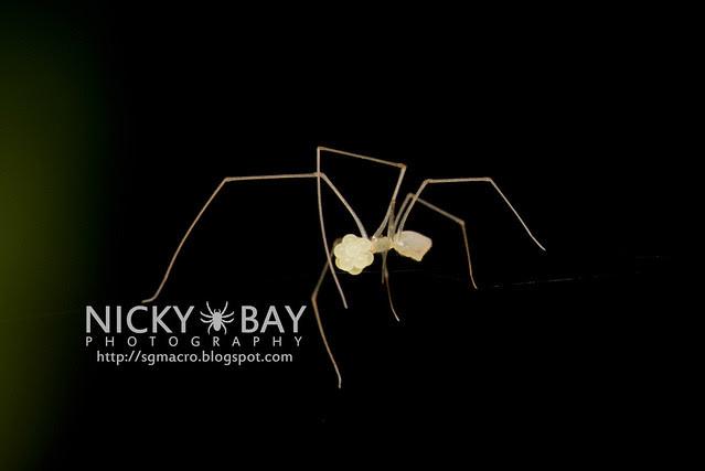 Cellar Spider (Pholcidae) - DSC_4804