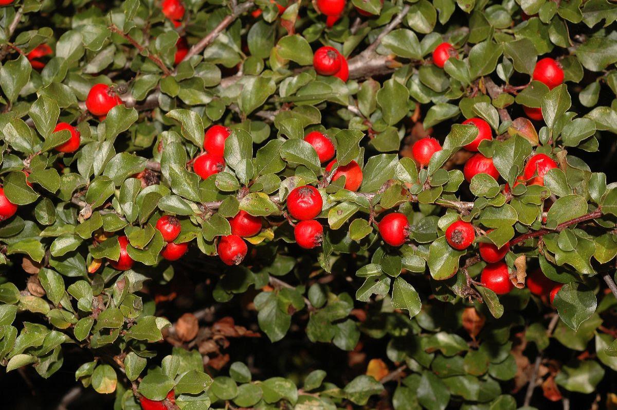 Rosaceae Cotoneaster