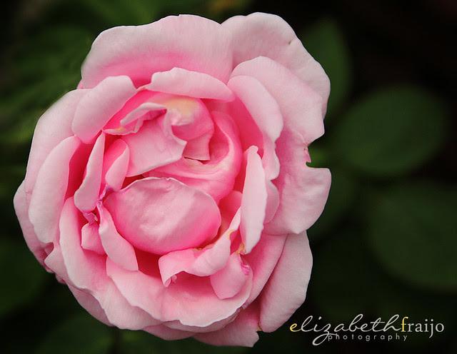Roses04