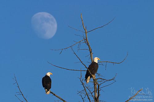 Pair of Bald Eagles and Moon, Skagit Valley, Washington