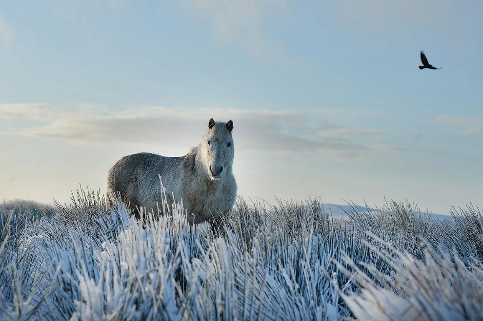 Дикий конь на Черной горе в Белфасте, Северная Ирландия