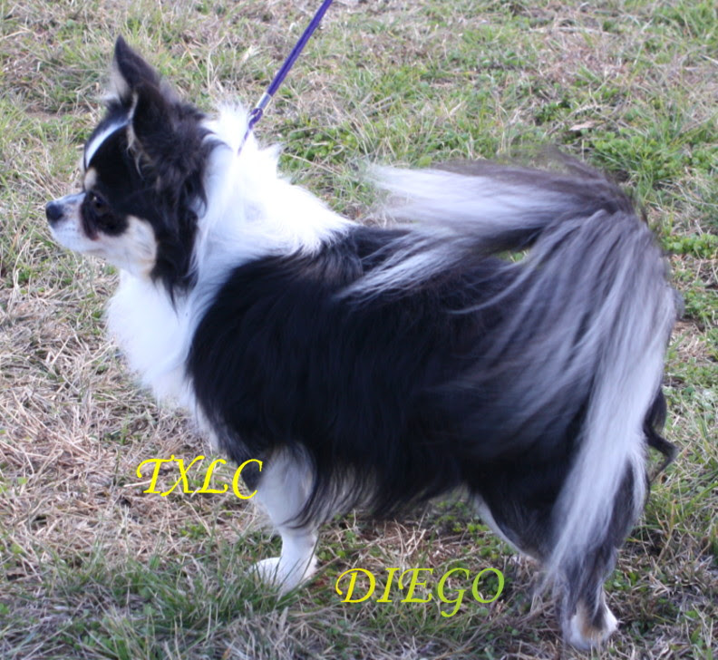 Long Haired Teacup Chihuahua Puppies For Sale In Louisiana ...
