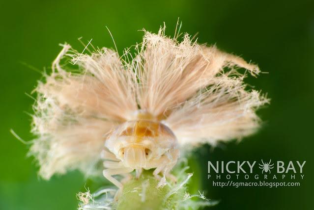 Planthopper (Fulgoromorpha) - DSC_1560