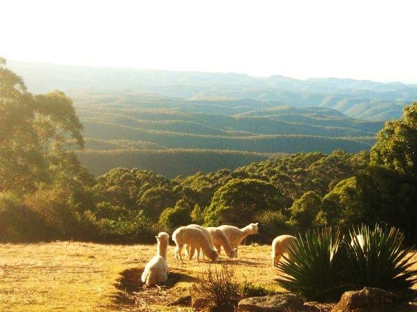 An Alpaca farm in the Blue Mountains outside of Sydney, Australia