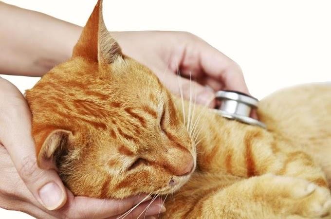 ¿Cuáles son los síntomas y el tratamiento del hipertirodismo en gatos?