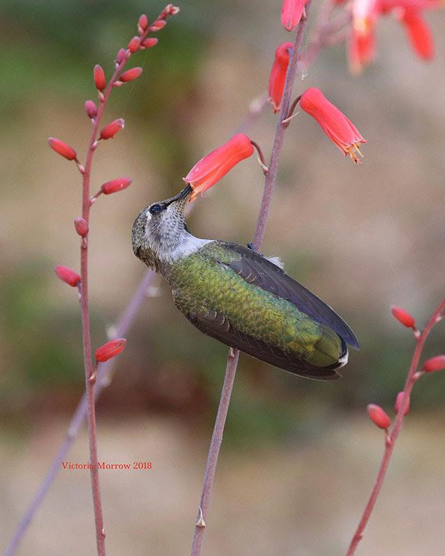 An anna's             hummingbird in Avila Beach, California --