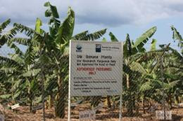 Banana plants growing at Uganda's National Agricultural Research Institute, Kawanda