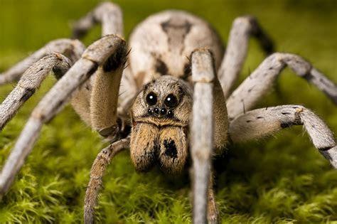 Wolf Spider Facts   Wolf Spider Control   TERRO®