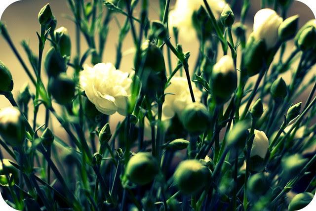white buds