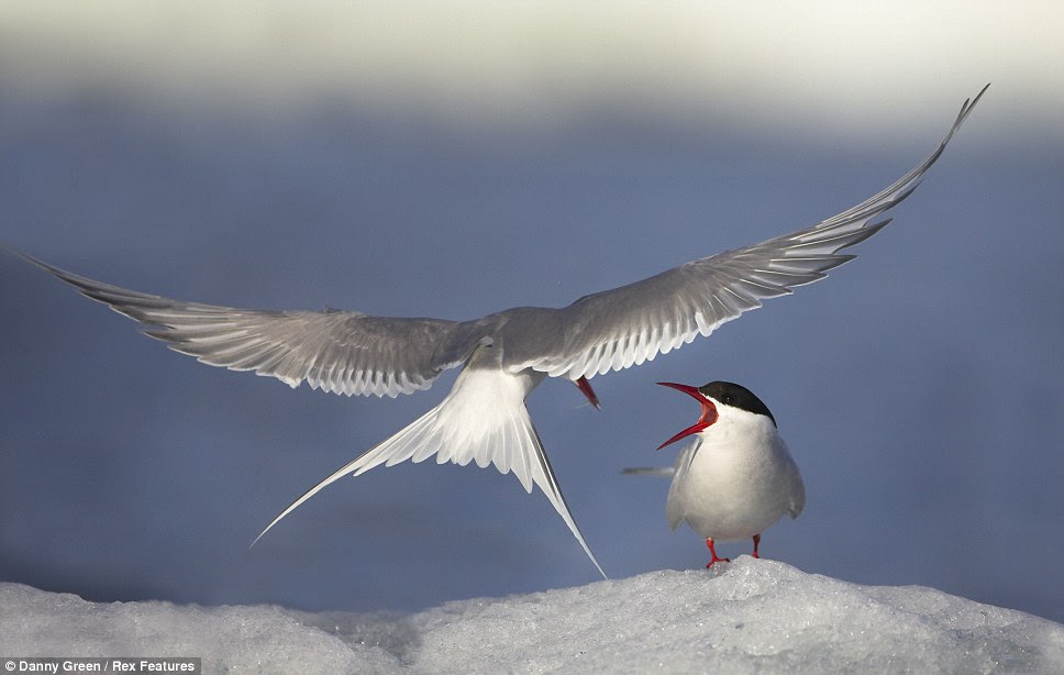 An Arctic Tern appears to be carrying food for its offspring as it  comes into land on an ice patch in Svlbard, Norway