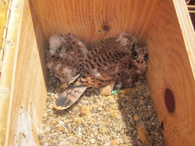 Polluelos jóvenes introducidos mediante el método de hacking