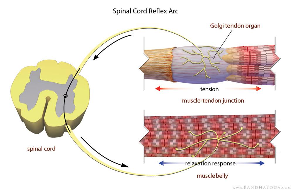 órgano tendinoso de golgi, el arco reflejo espinal médula