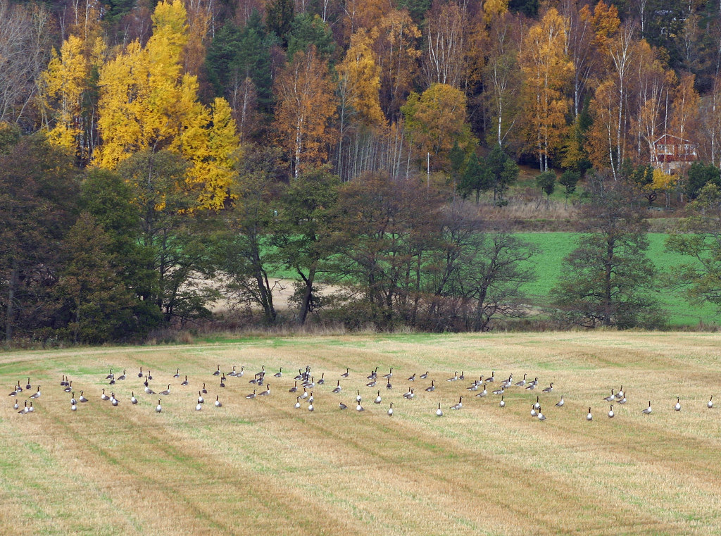 90 Canadian Geese