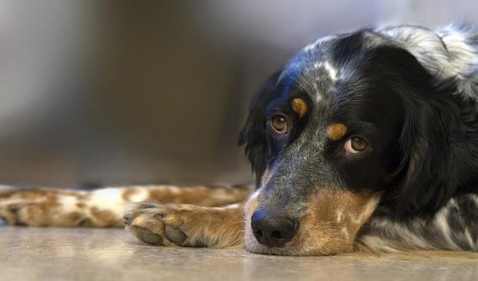 Causas, síntomas y tratamiento del hígado inflamado en los perros